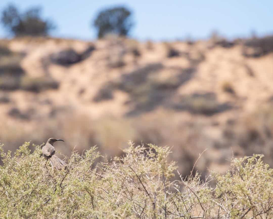 A Curve Billed Thrasher on the lookout for a meal