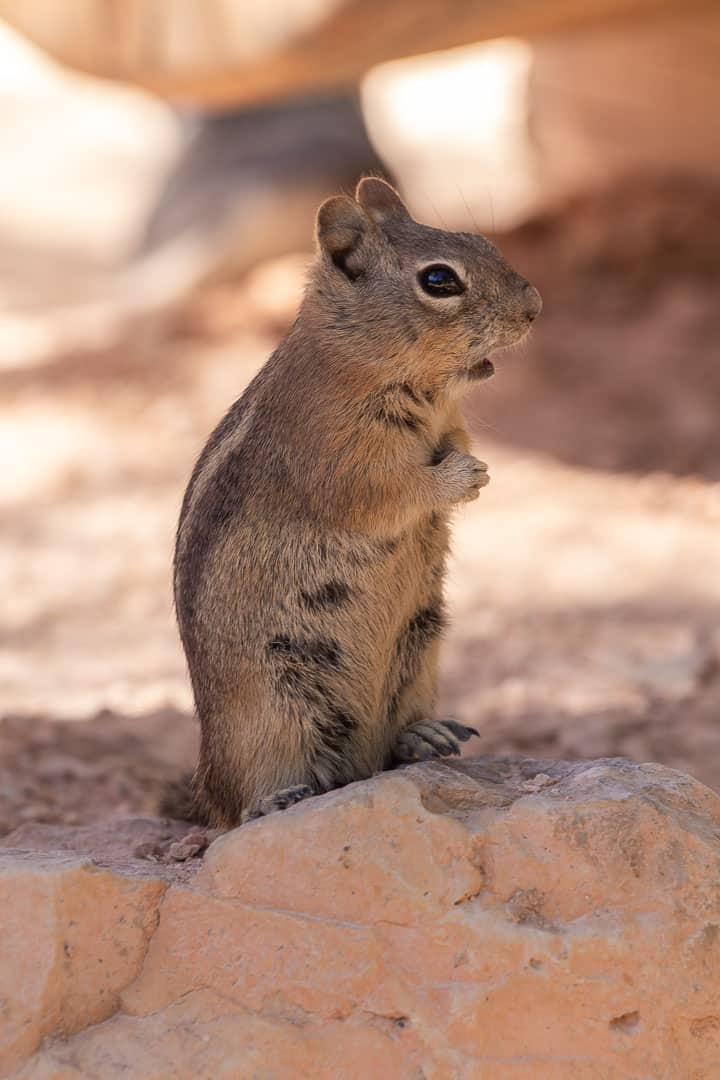 Chipmunk looking cute