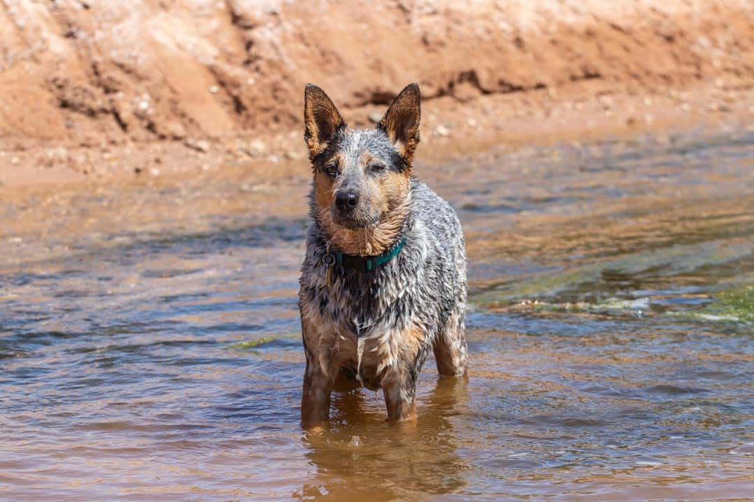Everest Enjoying a Refreshing Dip in the Small Creek That Runs Along a Few of the Trails