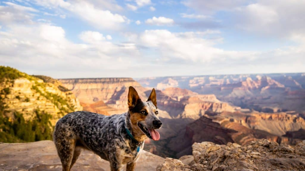 Everest posing at the Grand Canyon