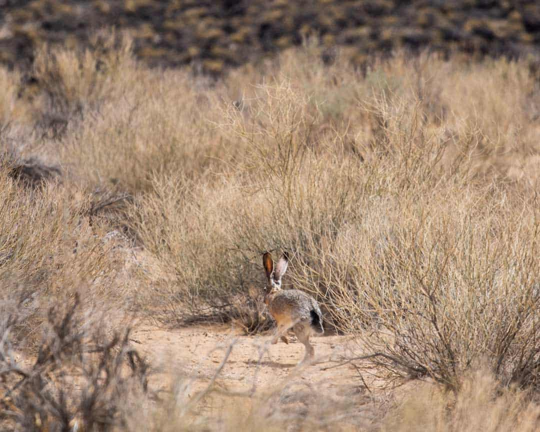 A jackrabbit making its getaway!
