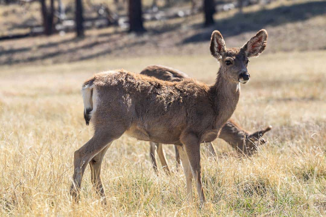 Wildlife was abundant in Bryce Canyon. These mule deer didn't mind that we were so close!