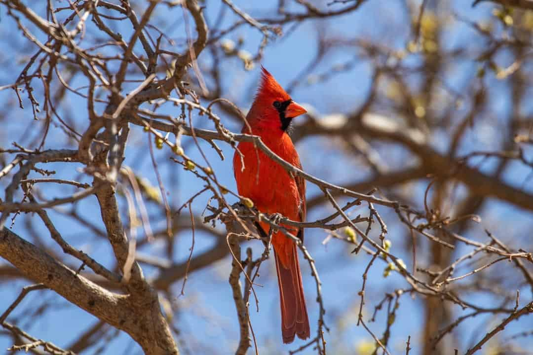 Male Cardinal spotted in the Hackberry campgroundMale Cardinal spotted in the Hackberry campground