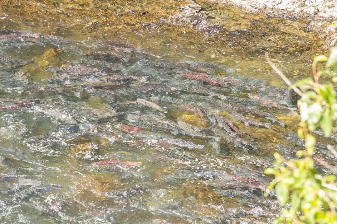 Salmon swimming upstream in a river