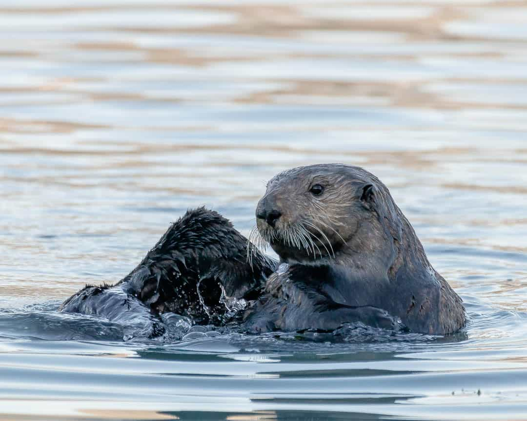 Two sea otters play in the harbor in Seward Alaska