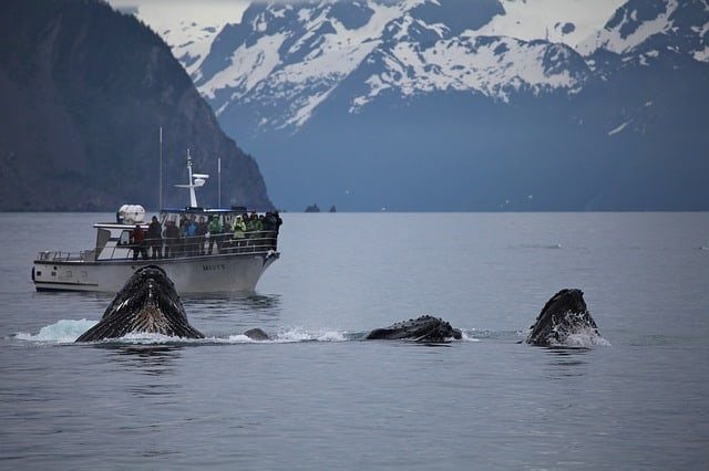 Whales in Resurrection Bay