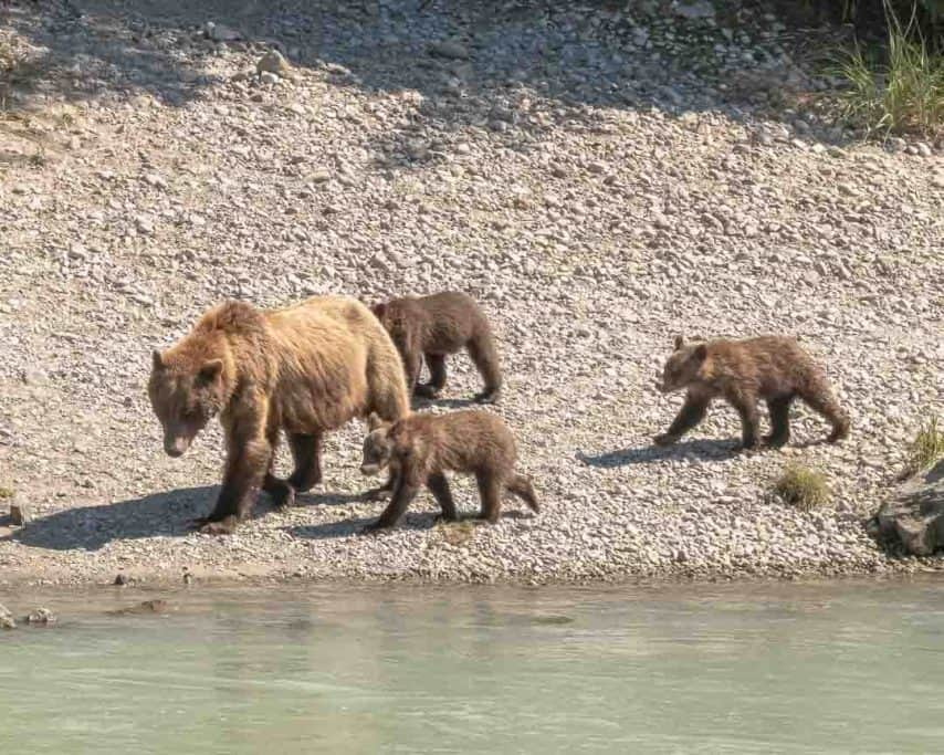 Grizzly bears in Haines, Alaska
