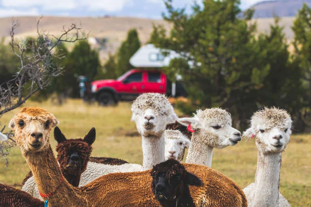 Group of Alpacas in foreground with RV camping in the background