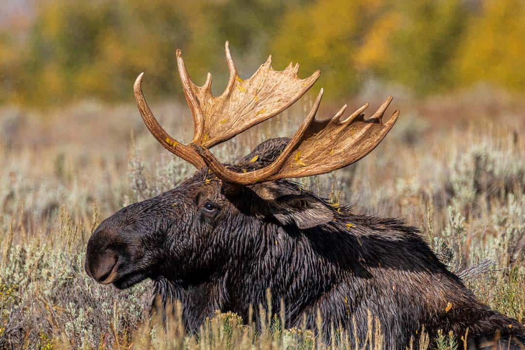Bull Moose waking up from a nap