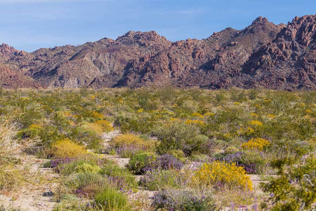 Wildflowers in bloom at Joshua Tree National Park