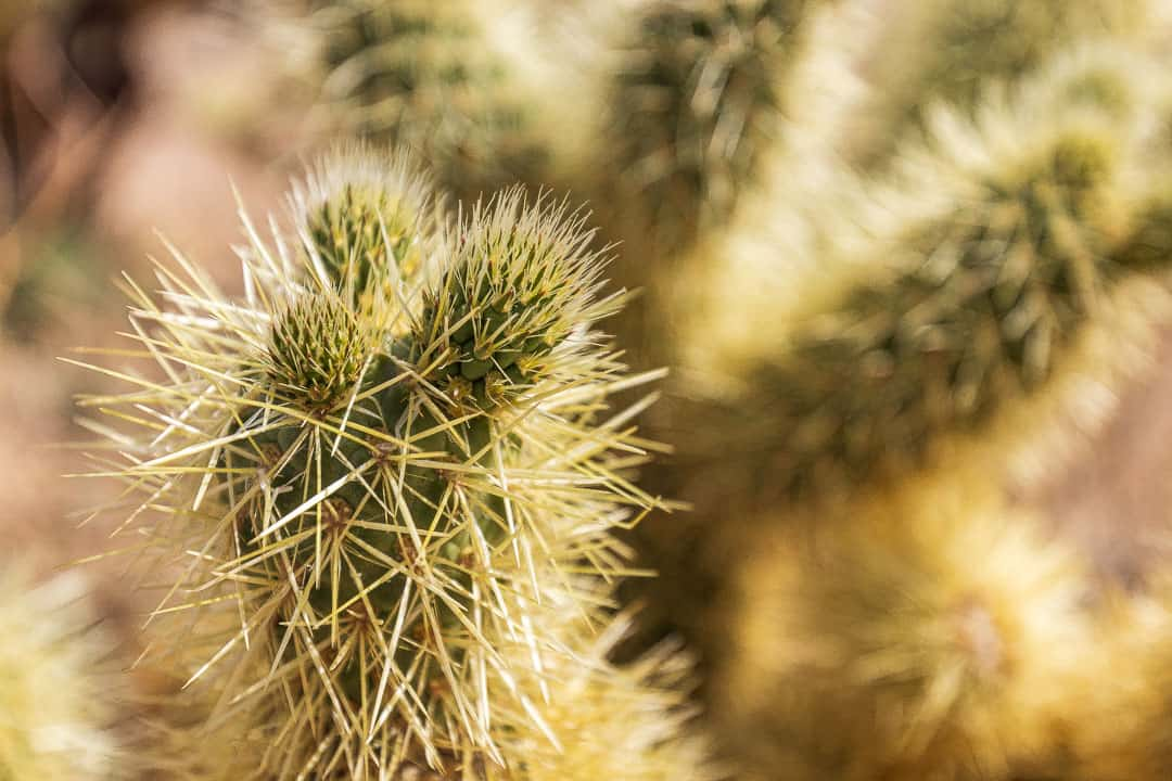 Cholla cactus up close