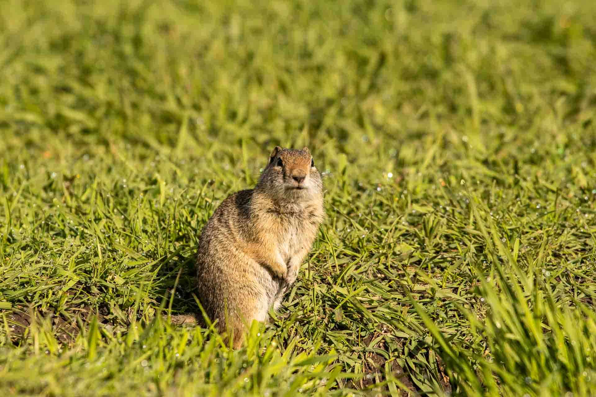 Ground squirrel checking out its surroundings