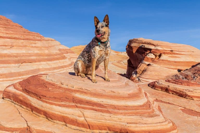 Dog sitting on the fire wave in Valley of Fire state Park